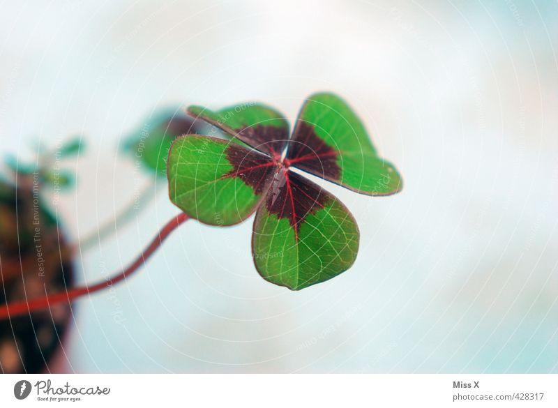 Glück in der Liebe grün Pflanze Blatt Stimmung Wachstum Symbole & Metaphern Klee Kleeblatt Glücksbringer vierblättrig