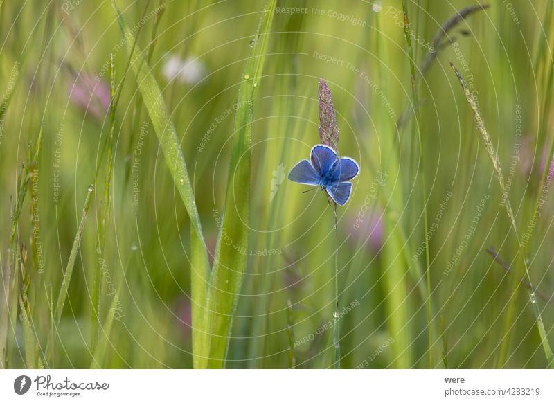 Bläuling auf einem Grashalm im Sonnenlicht Glaukopsyche alexis Tier Tiermotive Tierwelt Tiere in der Wildnis Halm Blauer Steinklee Schmetterling Textfreiraum