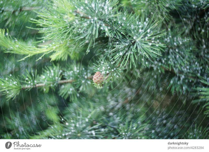 Kiefer mit Harz und einem Kiefernzapfen während der Wachstumsphase im Sommer pine pinus conifere Außenaufnahme Farbfoto Menschenleer Baum Umwelt Tag grün Holz