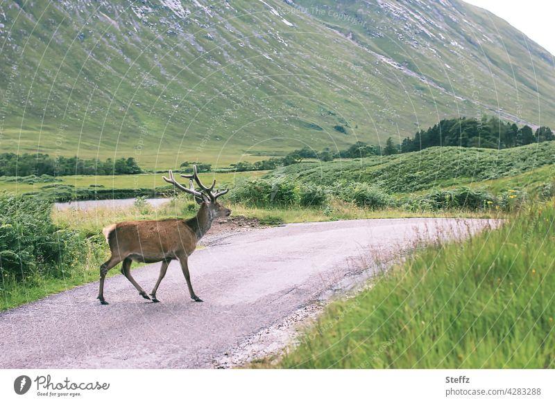 unterwegs in Schottland Hirsch freilebend Rothirsch Edelhirsch schottisch Rotwild friedlich Freiheit grüne Idylle Hügel ländlich begegnen grüne Landschaft