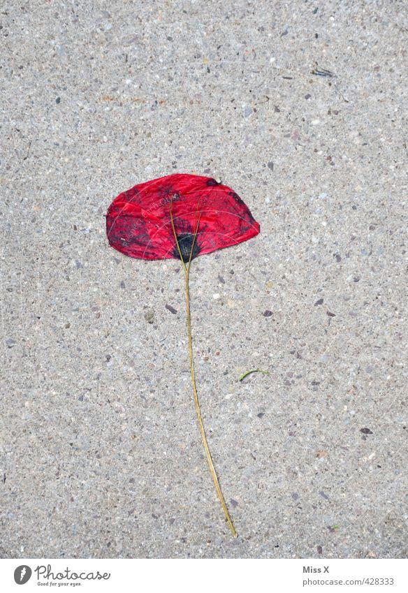 da biste platt Blume Blüte verblüht dehydrieren Traurigkeit Tod Liebeskummer flau Mohn gepresst Mohnblüte Straße Farbfoto mehrfarbig Außenaufnahme Menschenleer