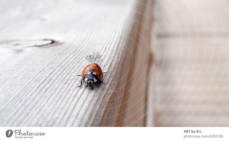 auf falschem Weg käfer weg holzgeländer marienkäfer tier insekt suchen suchend gehen gang