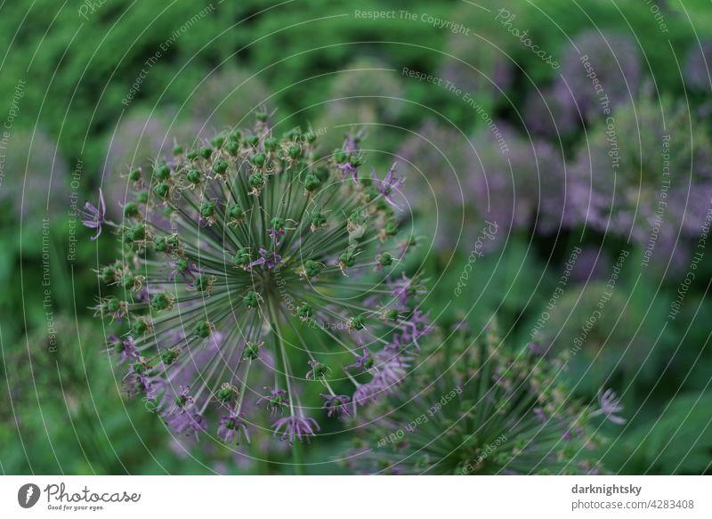 Zierlauch (Allium) in einem Park nach der vollen Blüte mit Resten der lilafarbenen Blütenblätter ZIerlauch Garten Lauch Blume verblühend Pflanze violett