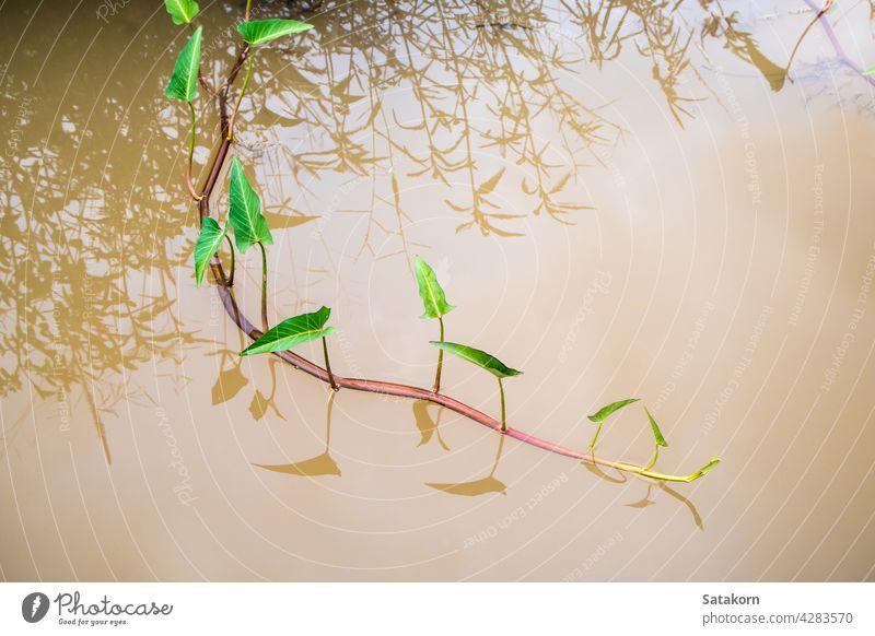 Triebe der Morgenlatte im Kanal Wasser Ruhm fliegend schießen Blatt Gemüse grün Pflanze tropisch Natur im Freien Lebensmittel Reflexion & Spiegelung