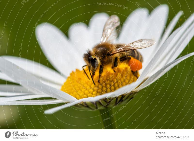 weil jede Biene wertvoll ist Blume fleißig Margerite natürlich krabbeln genießen ansammeln Lebensfreude nachhaltig Duft Pollen Pflanze Blüte Nutztier Insekt