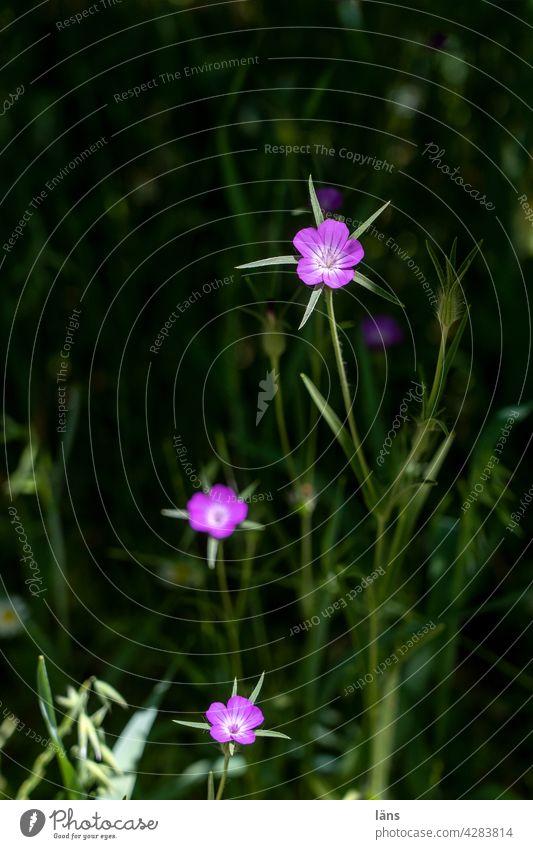 Blumen ins Licht strebend dunkel Kreta Wildpflanze Sommer Wiese Blühend Natur grün Außenaufnahme Blüte Menschenleer natürlich Farbfoto Wachstum Wiesenblume