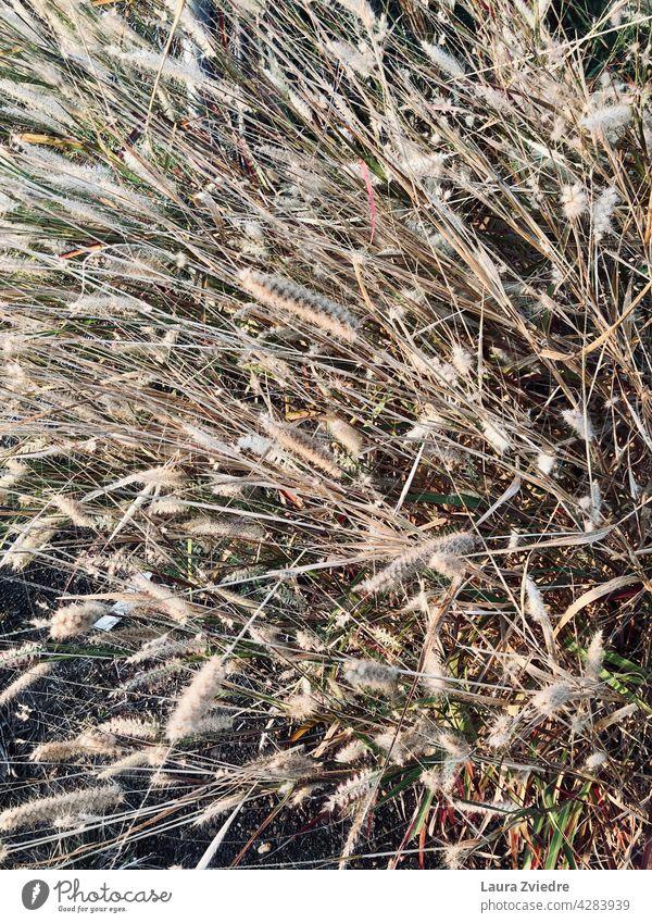 Trockenes Gras Nahaufnahme Sportrasen Pflanze Makro Makroaufnahme Natur Hintergrund Muster abstrakt Natur-Foto Naturfotografie frisch Wachstum natürlich Umwelt