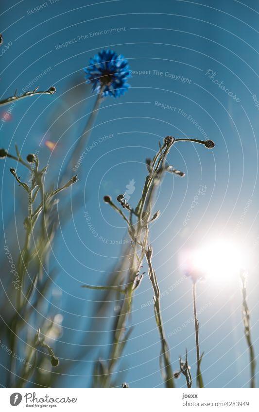Blaue Blüte der Kornblume von unten gegen das Sonnenlicht Blume Kornflockenblume Froschperspektive Centaurea Gegenlicht Garten Grün Zyane blau Himmel Natur