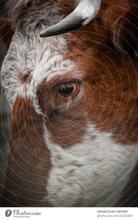 schöne braune Kuh Porträt auf der Wiese Braune Kuh Hörner Tier Weide Weidenutzung wild Kopf Tierwelt Natur niedlich Schönheit wildes Leben ländlich Bauernhof