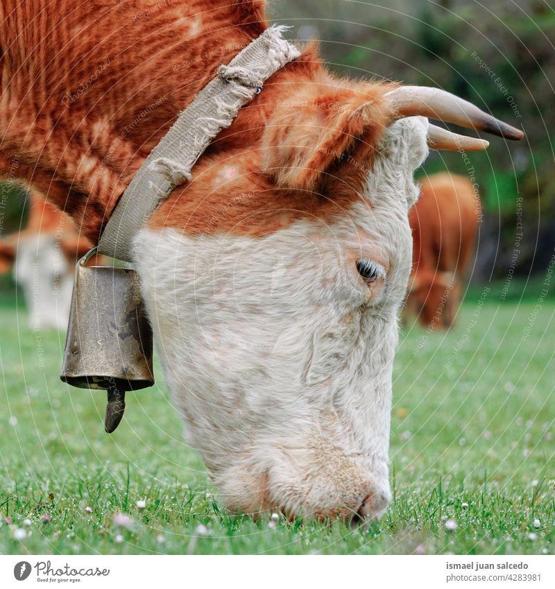 schöne braune Kuh mit Kuhglocke grasen auf der Wiese Braune Kuh Hörner Porträt Tier Weide Weidenutzung wild Kopf Tierwelt Natur niedlich Schönheit wildes Leben