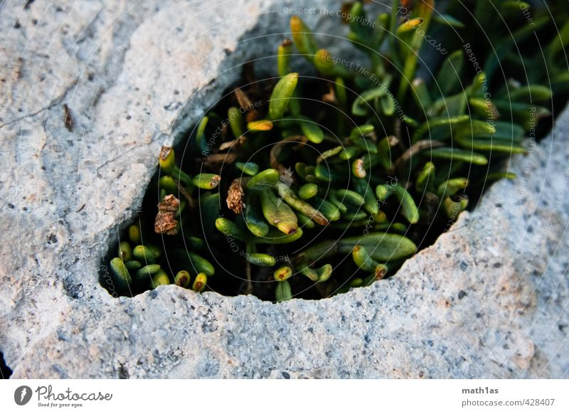 Das Leben bricht sich Bahnen Natur Pflanze Umwelt Stein Kraft Moos Überleben Widerstandskraft Überlebenskampf