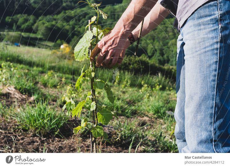 Landwirt beim Setzen der Weinpflanzen auf die Pfähle. Arbeit im Weinberg. Winzer Tutoren Stöcke Arbeiter Bepflanzung Pflanzen Pflege Bambus Bauernhof ländlich