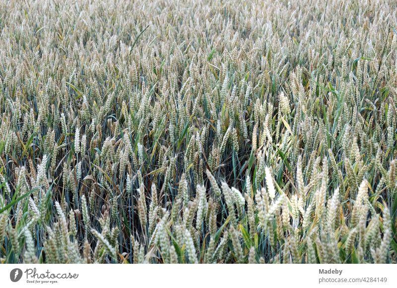 Die Ähren von Weizen auf einem grünen Getreidefeld im Sommer in Oerlinghausen bei Bielefeld im Teutoburger Wald in Ostwestfalen-Lippe weizen getreide weizenfeld