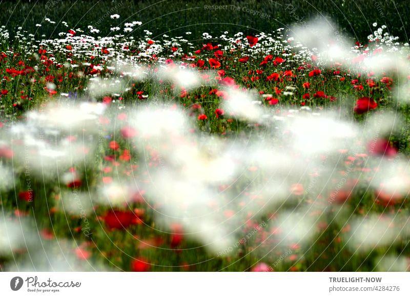 TRUELIGHT-NOW ganz berauscht und voller Lebenslust im grün weiß roten Blütenmeer von Mohn und Margeriten Blumen an einem Waldrand bei unscharf bewegtem Vordergrund