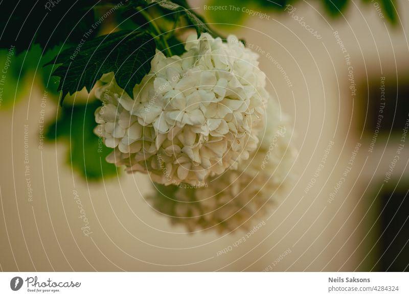 Viburnum opulus Roseum oder Schneeball blüht im Garten im Frühling Blume weiß roseum Ast Pflanze Nahaufnahme Überstrahlung Blatt Baum Blüte geblümt Blütezeit
