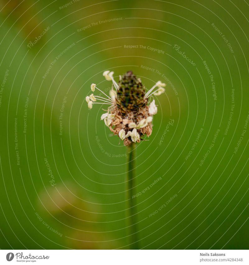 Blüte des Rauhen Wegerichs (Plantago media) greisenhaft Spitzwegerich Medien Pflanze Lebensraum Umwelt Schutz Natur Wiese Garten Gartenarbeit im Freien Botanik
