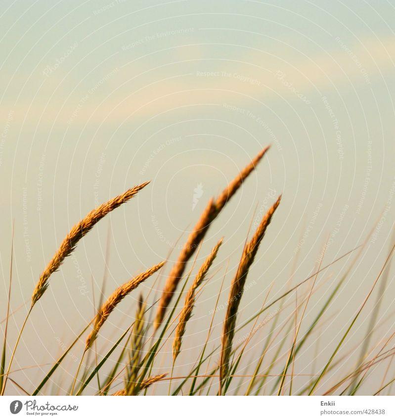 Dünengräser Sommer Sonne Insel Umwelt Natur Pflanze Sonnenaufgang Sonnenuntergang Sonnenlicht Schönes Wetter Gras Küste Nordsee Wachstum blau gold grün orange