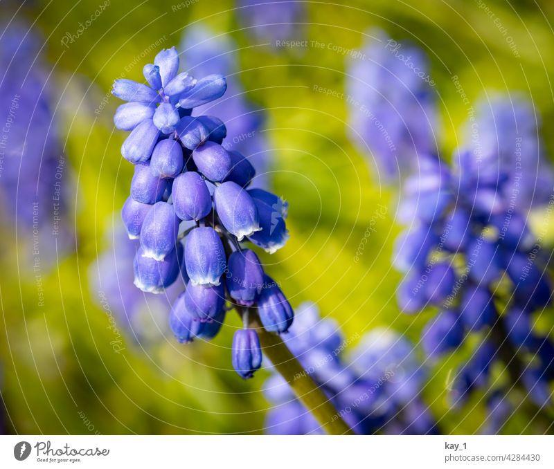 Blüte der Armenischen Traubenhyazinthe - Muscari armeniacum Pflanze Pflanzen blühende Blume Blühend Natur Unschärfe natürlich Tageslicht natürliches Licht