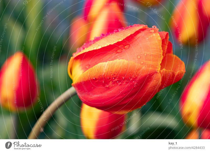 eine sich zur Seite neigende Tulpe im Tulpenbeet Tulpenblüte Tulpenfeld Frühling Frühlingsblume Frühlingsblumen Frühlingsgarten Blume Blüte Pflanze Natur