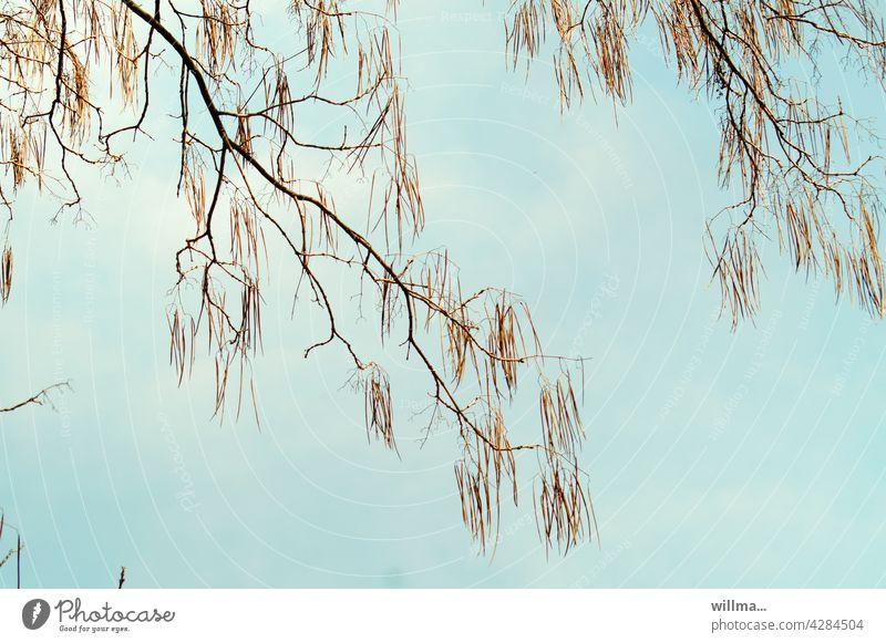 Der Bohnenbaum Zigarrenbaum Beamtenbaum Trompetenbaumgewächs Catalpa Catalpin Mückenabwehr Baum Zweige Früchte Mückenschutz