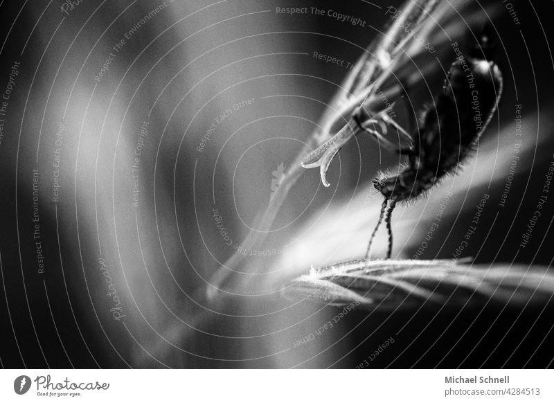 Ein kleiner Käfer kopfüber // auf den Kopf gestellt verkehrt herum nach unten nach unten hängen Außenaufnahme Tier 1 Makroaufnahme