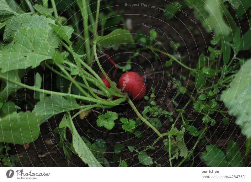 gärtnern. ein radieschen wächst in der erde wachsen anpflanzen ernten Garten Gartenarbeit Freizeit & Hobby Pflanze sommer