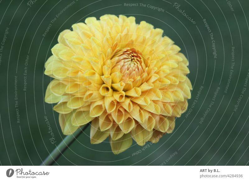 Dahlie dahlie blume blüte solistin allein solo gelb