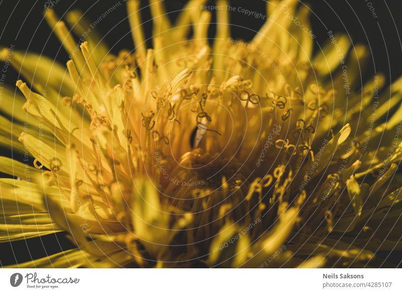 Eine Nahaufnahme von einem leuchtend gelben Löwenzahn wächst im Rasen, unscharfen Hintergrund schön Schönheit Blütezeit Überstrahlung Botanik hell Farbe