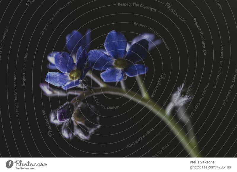 Makro von winzigen blauen Blumen Vergissmeinnicht und schwarzem Hintergrund. Nahaufnahme vergessen Frühling Pflanze natürlich Menschengruppe grün