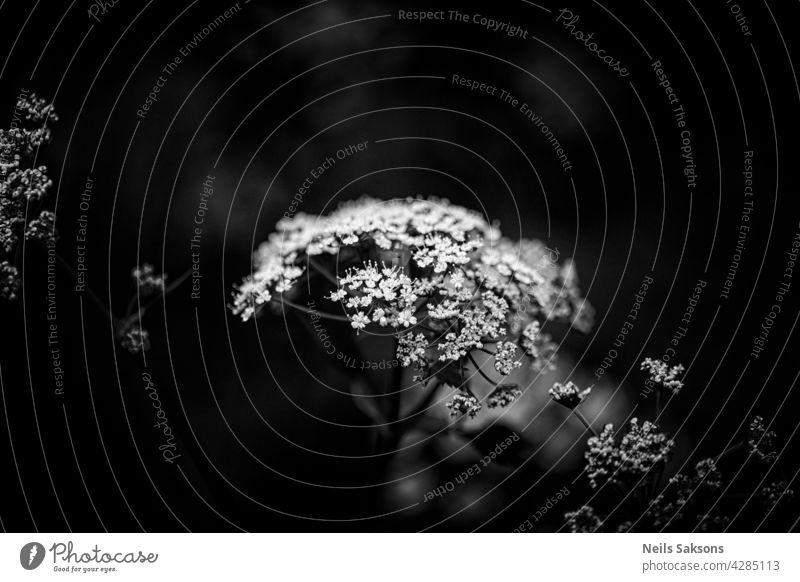 Kuh-Petersilie oder Wilder Kerbel, Anthriscus sylvestris, Blütenbüschel Makro, selektiver Fokus Hintergrund schön Schönheit Blütezeit Überstrahlung botanisch