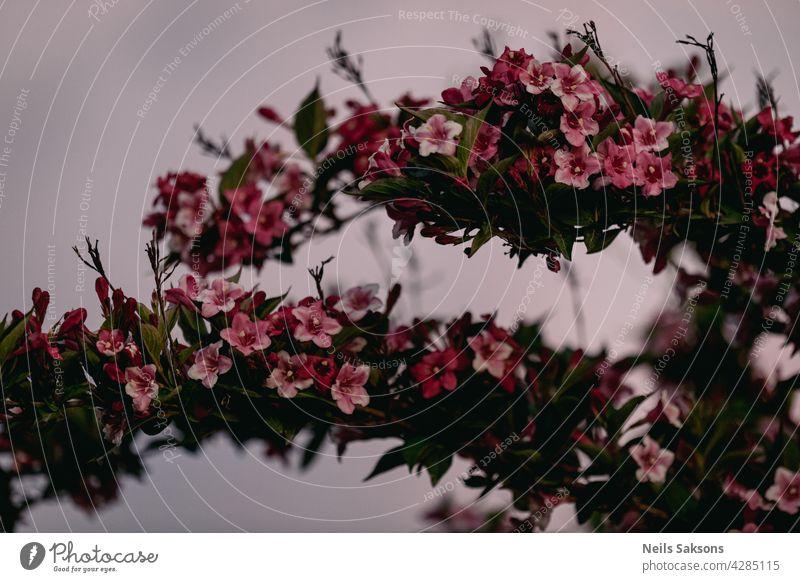 Schöne rosa Blumen Weigela florida. Blumen von weigela florida. Blühender Garten im Frühling Garten in sonnigen Tag Hintergrund Mode geblümt Baum Muster