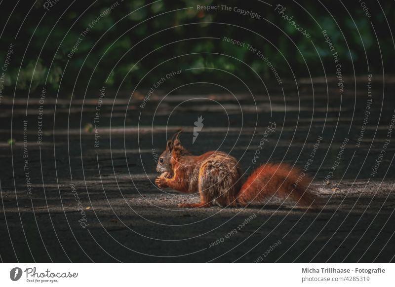Fressendes Eichhörnchen im einzelnen Sonnenstrahl Sciurus vulgaris Wildtier Tiergesicht Fell Nagetiere Pfote Krallen Schwanz Ohr Tierporträt Nuss Walnuss