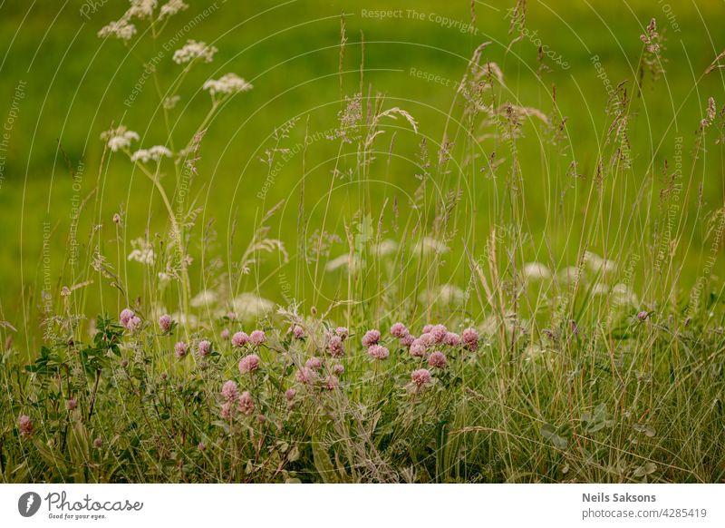 Feld Rotklee Blume (Trifolium pratense) im Frühjahr ländlichen Landschaft. Heilpflanze Rotklee Blume Garten Feld Klee rosa rot Pflanze Frühling Hintergrund