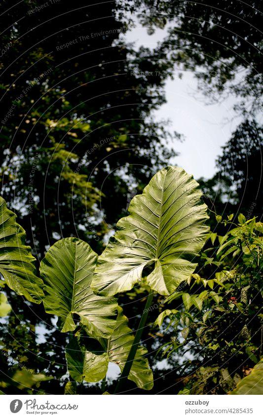 Taroblatt Blatt Pflanze Natur grün groß Ohr Hintergrund botanisch tropisch Detailaufnahme Textur frisch im Freien Colocasia Vene Gemüse Botanik Muster