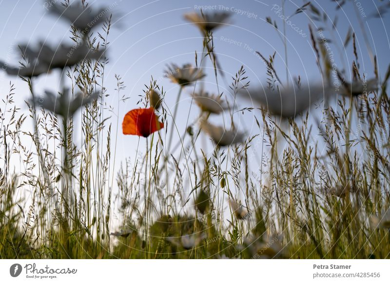 Ein Tupfer Rot rot Mohn Mohnblüte Gräser Blüte Wiese Blume Sommer Pflanze Natur Wildpflanze Außenaufnahme unscharfer Vordergrund Menschenleer niemand Blühend
