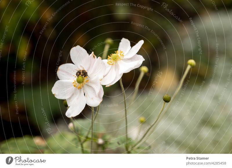 Weiße Blüte mit Biene Honigbiene Tier Insekt Blume Natur Pflanze fleißig Blühend bestäuben Nutztier Außenaufnahme Menschenleer Niemand