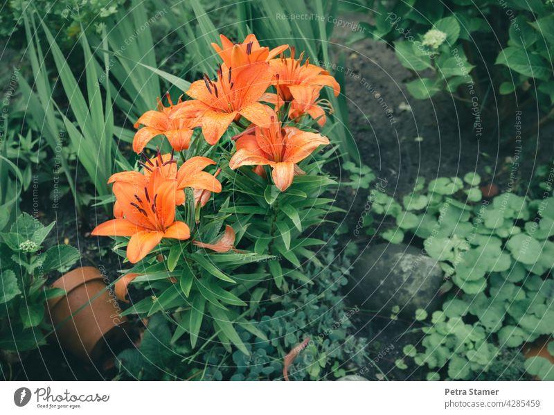 Orange Lilien Grün Blume Blüte Blühend Pflanze Garten Blumentopf Natur Außenaufnahme Menschenleer Niemand
