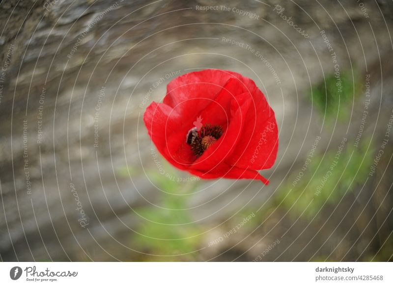 Papaver rhoeas, Roter Klatschmohn an einer Mauer stehend und vom Wind bewegt roter Mohn Blume Mohnblüte Sommer Außenaufnahme Mohnfeld Farbfoto Feld Idylle