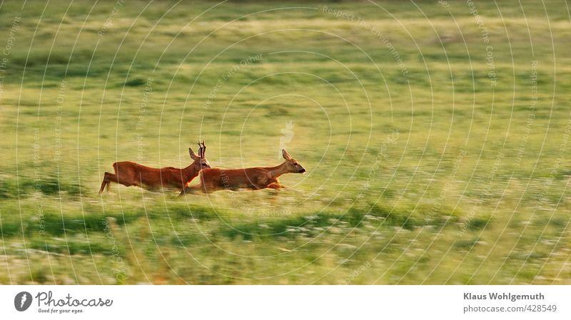 Vorspiel Paar Umwelt Natur Sommer Schönes Wetter Gras Wiese Feld Wald Tier Wildtier Fell Reh Rehbock Ricke 2 Tierpaar rennen Geschwindigkeit braun grün rot