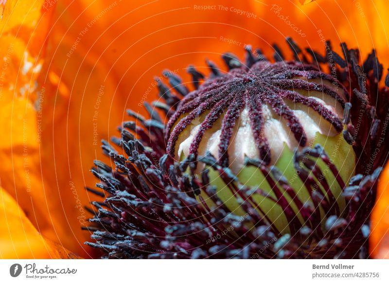 Mohnblume Türkischer Mohn Türkenmohn Papaver orientale Garten Pflanzen Bauerngarten Blumen Blüte Pollen gärtnern Gärtnerin