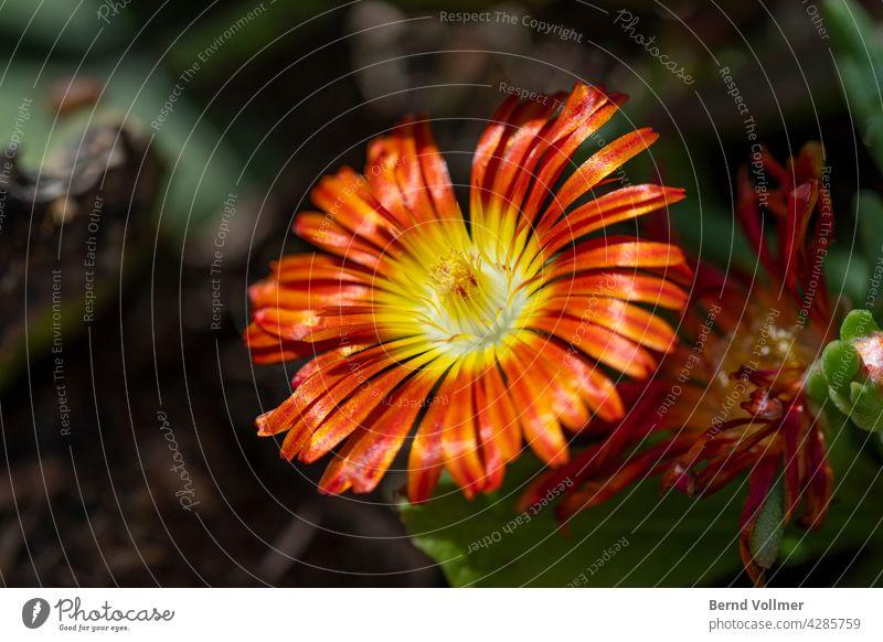 Mittagsblume in Orange Blume Pflanze Blüte Garten gärtnern Gärtner Natur