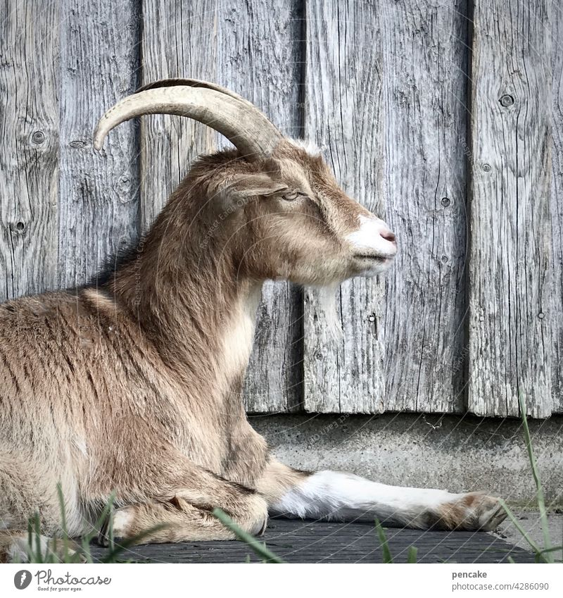 bock drauf Ziege Bock Ziegenbock Hütte Holzhütte Fassade grau liegen Tier Haustier Nutztier Bauernhof Landwirtschaft ausruhen Tierporträt