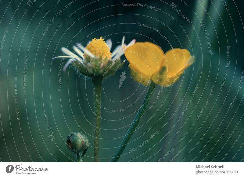 Gänse- und Butterblümchen nebeneinander, und eine kleine Knospe darunter Gänseblümchen Butterblumen Blume Wiese Frühling Blüte gelb weiß Gras pärchen