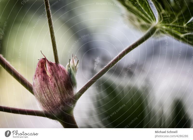 Geschlossene Blüte aufblühen geschlossen Knospe Blütenknospen Frühling Wachstum Nahaufnahme rötlich-rosa Knospen Schwache Tiefenschärfe