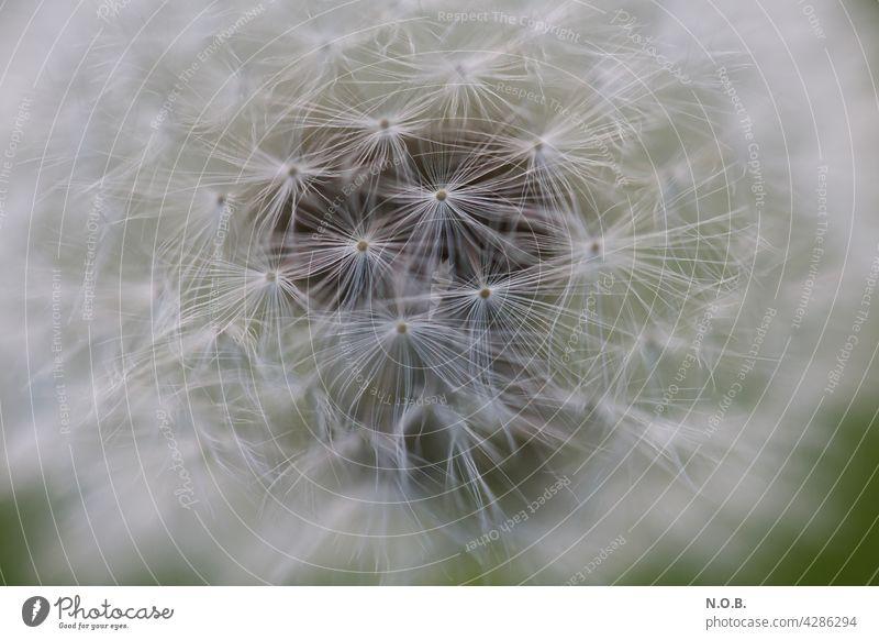 Nahaufnahme Pusteblume Löwenzahn Natur Makroaufnahme Detailaufnahme Schwache Tiefenschärfe Außenaufnahme Samen Pflanze weiß Frühling leicht Sommer zart weich