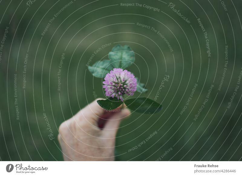 Hand einer Frau hält Kleeblätter mit rosa Blüte Rotklee Kleeblatt Blätter grün hellgrün Stiel Wiese Pflanze Glück Felder pflücken gepflückt Sommer Spaziergang