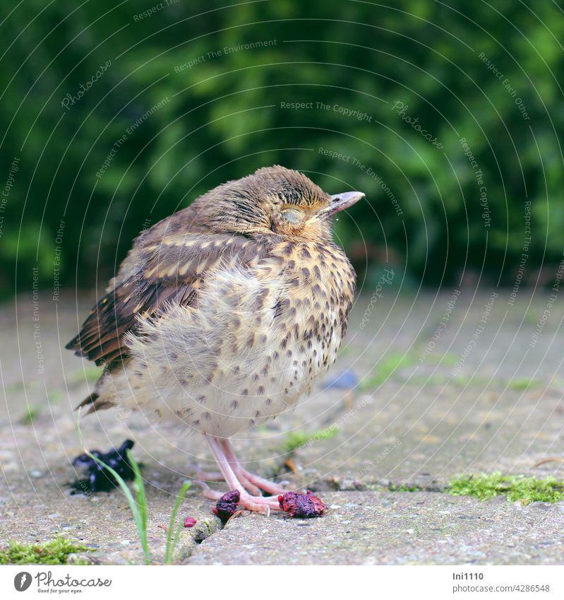 Drosselküken - schlafen, fressen und k...... Wildtier Vogel Jungvogel Küken Singvogel Gefieder Halbschlaf Augen geschlossen Nahrung Beeren Kot kacken Garten