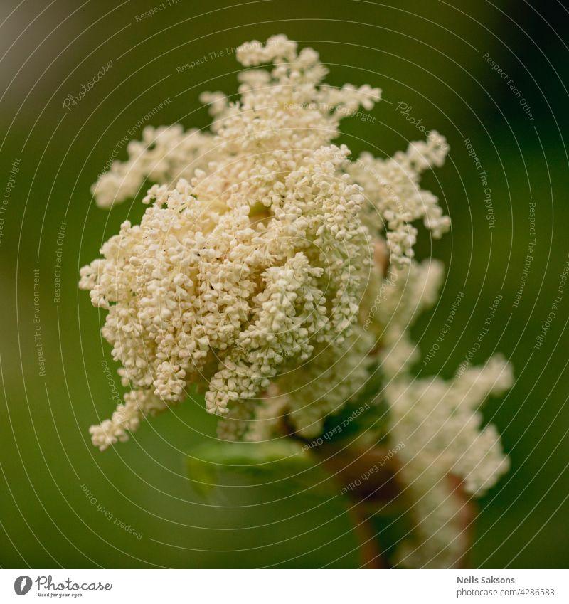 Rhabarber weiße Blüten Nahaufnahme auf dem dunkelgrünen Hintergrund Blume Blatt Pflanze Natur Frühling wachsen Vorbau Gemüse Botanik Flora Überstrahlung Makro