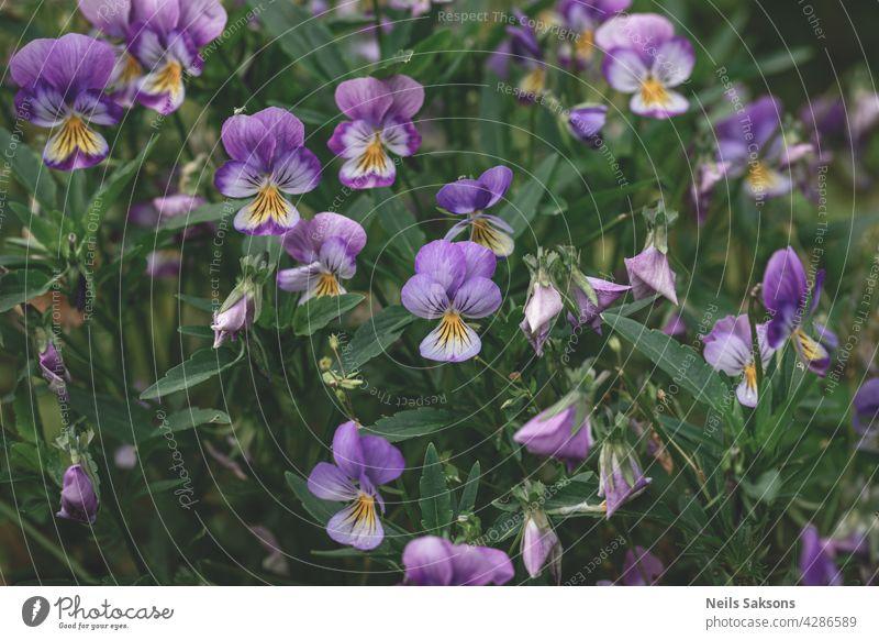 Stiefmütterchen Blumen (heartsease) oder Viola tricolor violett gelb Stiefmütterchen Hintergrundmuster. Feld von bunten Stiefmütterchen mit blauen gelben, lila Blumen. Wilder Frühling heartsease Blumen auf Blumenbeet