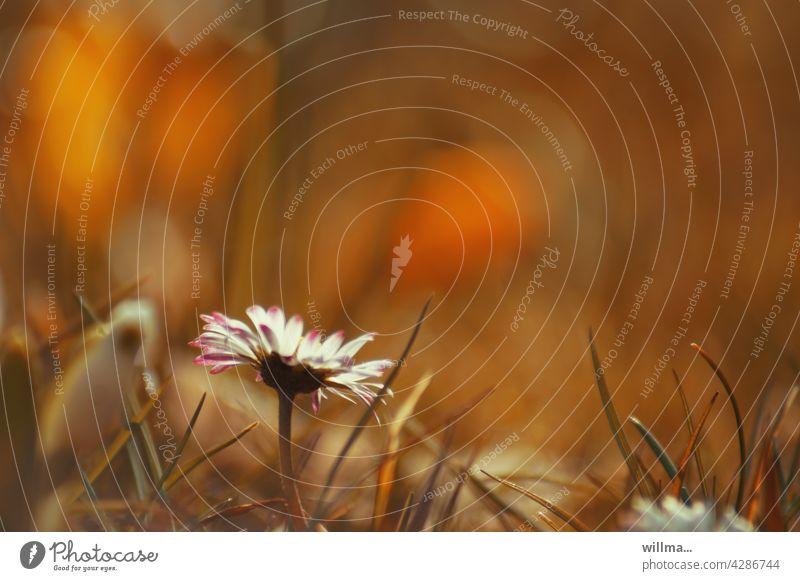 ich bin ein gänseblümchen ... Gänseblümchen Blume Heilpflanze essbar Bellis perennis Korbblütler Maßliebchen